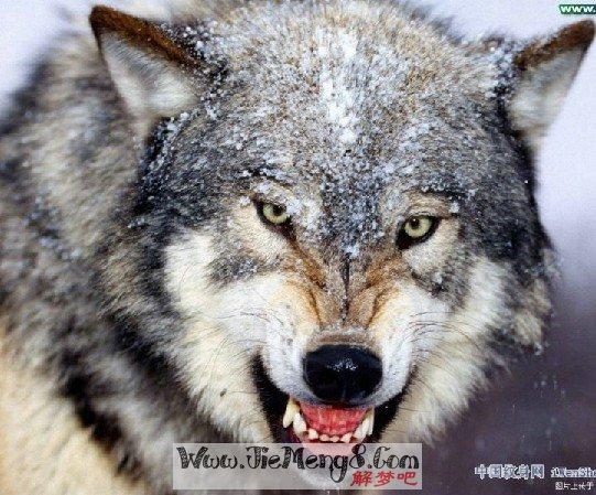 狼病了 松鼠送礼 小动物 兔子 05
