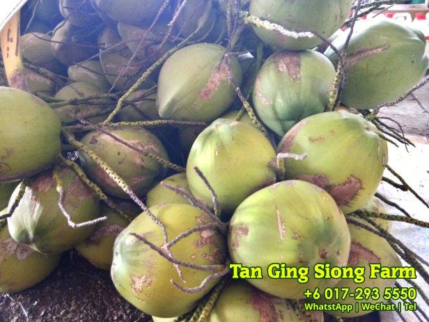 Tan Ging Siong Farm 峇株巴辖 柔佛 马来西亚 峇株巴辖香椰批发 峇株巴辖椰子批发 A04