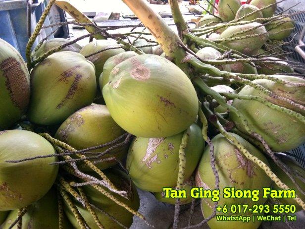 Tan Ging Siong Farm 峇株巴辖 柔佛 马来西亚 峇株巴辖香椰批发 峇株巴辖椰子批发 A05