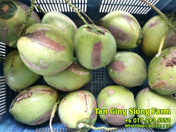 Tan Ging Siong Farm 峇株巴辖 柔佛 马来西亚 峇株巴辖香椰批发 峇株巴辖椰子批发 A06